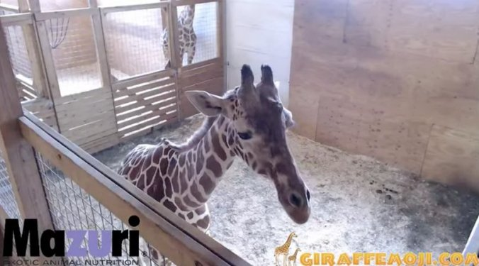 april-the-giraffe